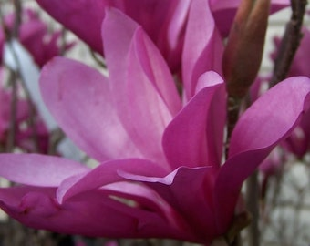 1 Ann Magnolia shrub/tree