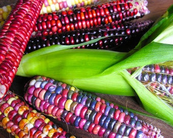 Painted Mountain Rare Ornamental Rainbow Corn Organic 15 Seeds #1135