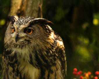 Owl eyes - owl - colors - nature photo - photography - art photo - animal