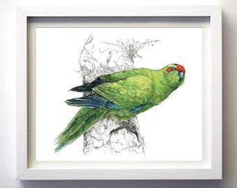 New Zealand native bird Kākāriki (NZ parakeet) illustrated Large print from original watercolor and ink painting artwork, Wild wall art
