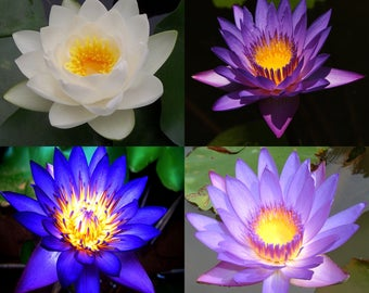 10 Lotus Flower Seeds, Pink, Blue, White, Purple, Fresh Exotic Rare 4 Colors Mixed Lotus Flower Seeds