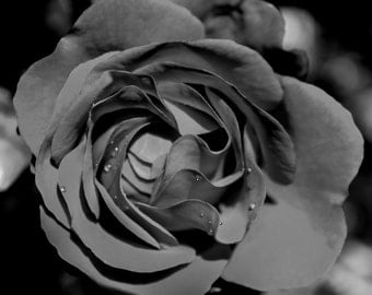 Rose Bud with dew drops black and white Photograph