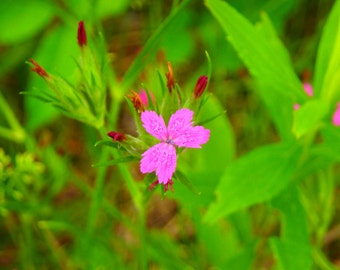 Small pink wildflower