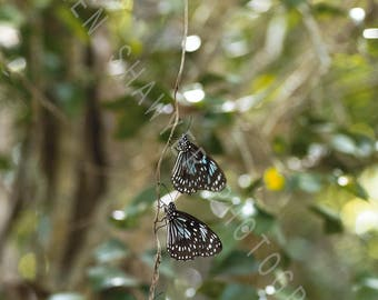 "Butterfly Photography, Wildlife Photography - ""Kaleidoscopic vine"""