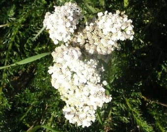 Seeds of Yarrow - Achillea millefolium