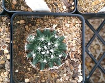 Escobaria missouriensis - Nipple Cactus