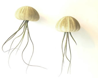 "Two ""Butzi"" Jellyfish Air Plants, Hanging Air Plants in Sea Urchin Shell"