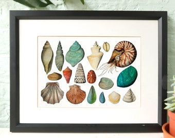 Sea shell art print, Nautical illustration, watercolour coquillage in A3 and A4, Nautilus