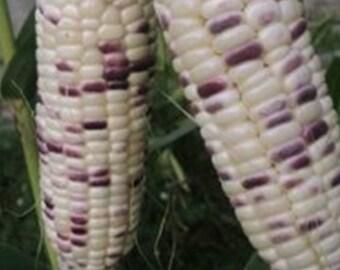 Thai Waxy Corn 20 Seeds ThaiGardener