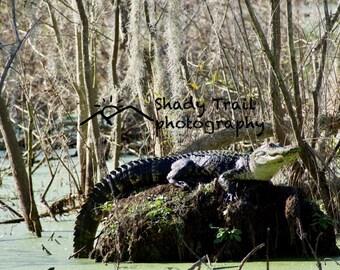 Florida Alligator - Digital Download