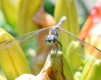Blue Dasher Dragonfly Fine Art Photo Print - Dragonflies - Dragonfly Photos - Wildlife Photography - Nature Photography - Gift Nature Lover