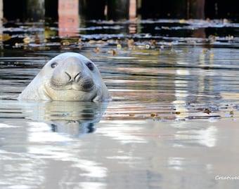 Elephant Seal Bathing - Leigh Harbour, South Georgia