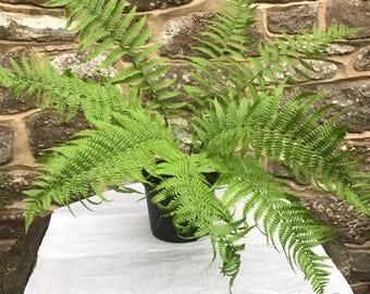 Dryopteris cristata Plant- golden male fern - unto 90cm tall