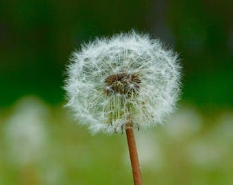 Dandelion Photography, nature photography, color photography