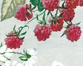 Raspberry and blackberry - Botanical Illustration by Elise Bostelmann, National Geographic 1951