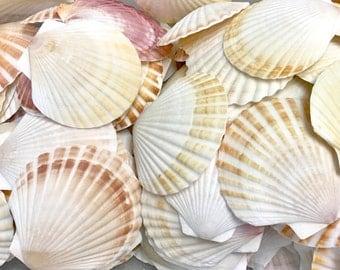 "Seashells - Set of 5 Pecten Shells - 2""- 3"" White and Brown sea shells - bulk shells crafting coastal"