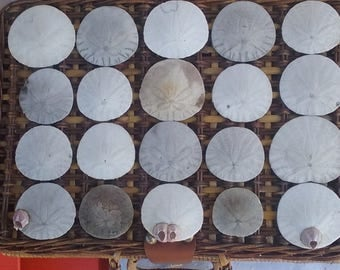 Natural Sand Dollars Hand Collected Round Sea Beach Shells Set Of 20 For Crafts Jewelry