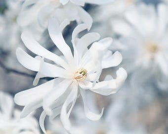White Flower Photo, Magnolia Photograph or Canvas Art, Magnolia Print, Cottage Chic Decor, Floral Photography, Spring Flower Photo
