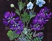Vintage ALASKAN WILDFLOWERS Print 'Mountain Sorrel and Wild Pea', Beautifully Illustrated, Wildflower, Botanical, Foliage, Lavender, Blues