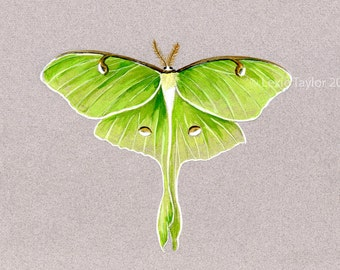 Luna Moth Watercolor Giclee Print