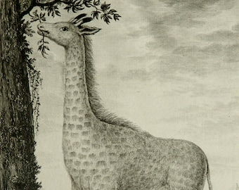 1771 Antique Buffon copper engraving of a GIRAFFE. Natural History. Zoology. 246 years old rare gorgeous print.