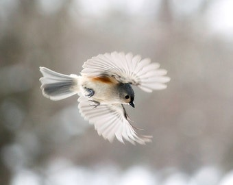 Bird photography: The Art of Staying Aloft No. 47 Tufted Titmouse (Baeolophus bicolor)