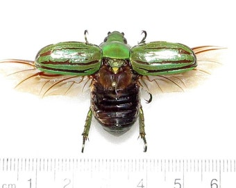Real Arizona Green Gold Chrysina Gloriosa Scarab Beetle Wings Spread Mounted Pinned