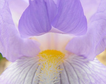 Delicate Purple Iris Photo - Botanical Photography - Soft and Shimmering Print
