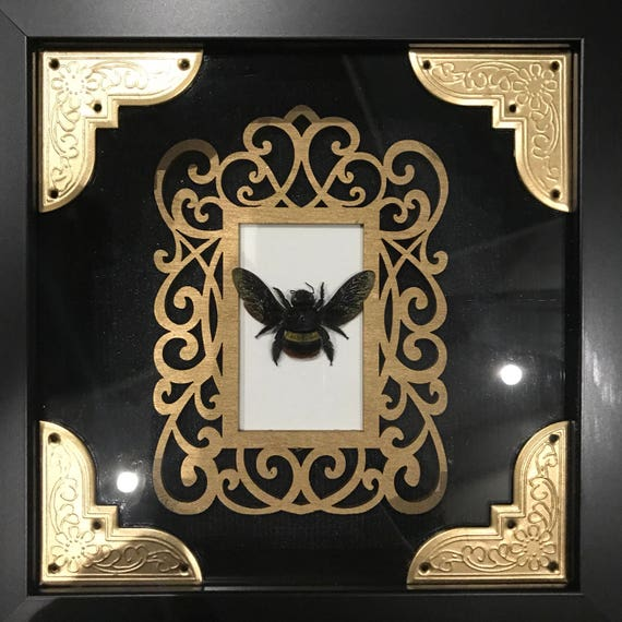 Real carpenter bee taxidermy display!