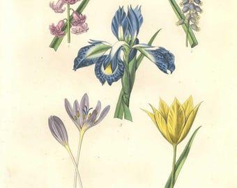 "Original Hand colored Decorative botanical print with hyacinth,muscari,iris, meadow saffron wild tulip from Herincq's ""Regne Vegetal"" (1865)"