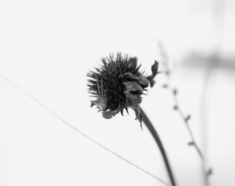 Black and White Photography, Natural, Winter Flowerheads, Thistle