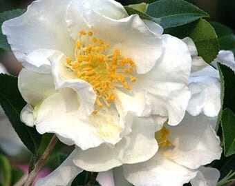 "White Camellia UNROOTED cuttings, Lot of 10, 12-16"" Stem Cuttings"