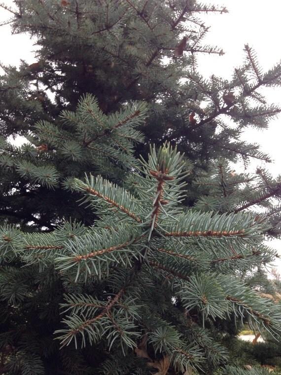 Decorative Blue Spruce : Flowers fresh cut floral decor blue spruce pine wreath