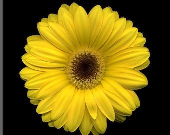 ADG) YELLOW GERBERA Daisy~Seed!!!!~~~~Big & Bright!!