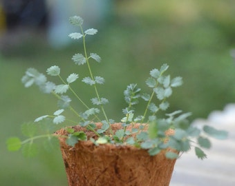 "Salad Burnet, Live Culinary Herb Plant in 4"" Pot (Sanguisorba minor)"