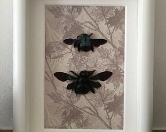 Framed Blue Carpenter Bees (pair)