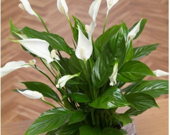 Peace Lily Plant, Spathyphyllium Great Easy House Flower Pot Plant,  A Perfect Gift