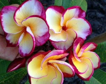 """Frangipani Plumeria, Rooted Seedlings, """"Dragon Tears"""" A Perfect Gift For Any Occasion"""