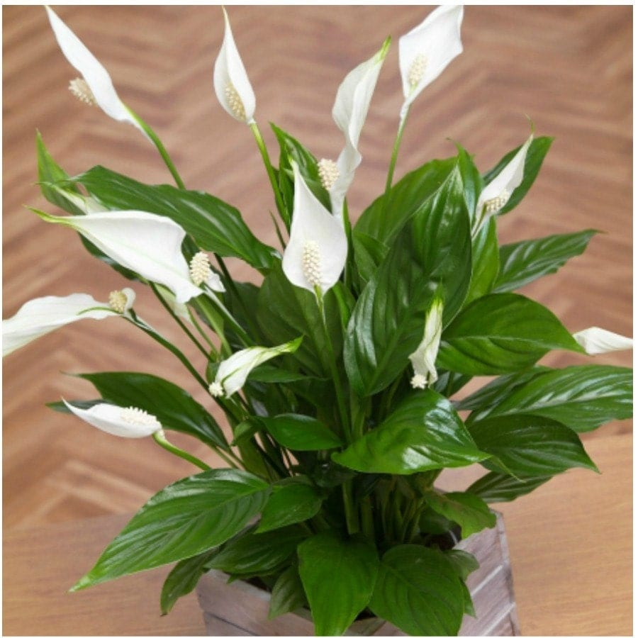 peace lily plant spathyphyllium great easy house flower pot. Black Bedroom Furniture Sets. Home Design Ideas