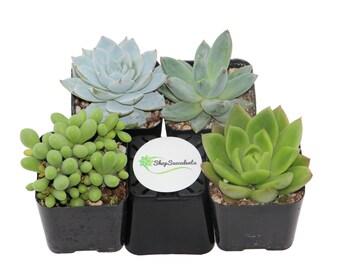 Shop Succulents Blue/Green Succulents Collection