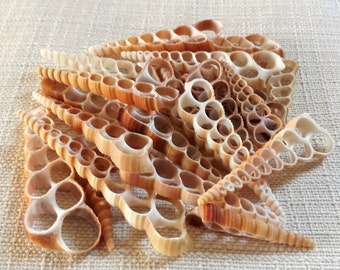 Sea Shells, Seashells, Shells, Bulk Seashells, Craft Shells, Cut Shells, Center Cut Terebra Turritella