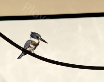 Belted Kingfisher Photograph // Kingfisher on a Line // Bird Photography