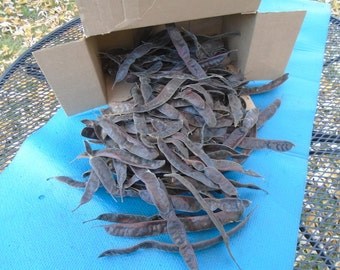 Box of Honey Locust tree seed pods. Tree seeds.