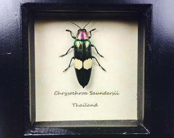 Chrysochroa Saundersii Beautifull Green Coloured Jewel Beetle Wooden Frame Entomology Insect Art