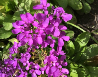 Candytuft 'Fairy Mixed' Seeds