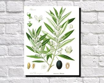 Olive, Botanical Print, Vintage Plant illustration,  Botanical Poster, Kitchen Decor, Book Plate  0356