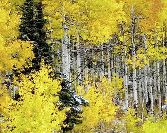 Walk in the Aspen Grove, Tree Photography, Birch Tree Art, Landscape Photography, Tree Photo, Tree Photograph, Tree Print, Autumn Print,