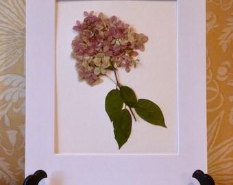 Real Pressed Flower Botanical Art Herbarium of Limelight Hydrangea 11 x 14