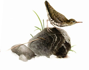 Spotted Sandpiper painted by J F Landsdowne for Birds of the Eastern Forest:1. The page is 11 1/2 wide and 15 inches tall.