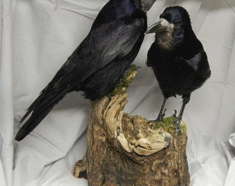 Taxidermy- - 2 x  rooks on large driftwood log, Copy will be made